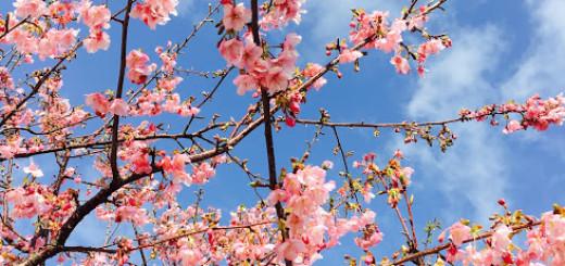 晴れた空と河津桜。