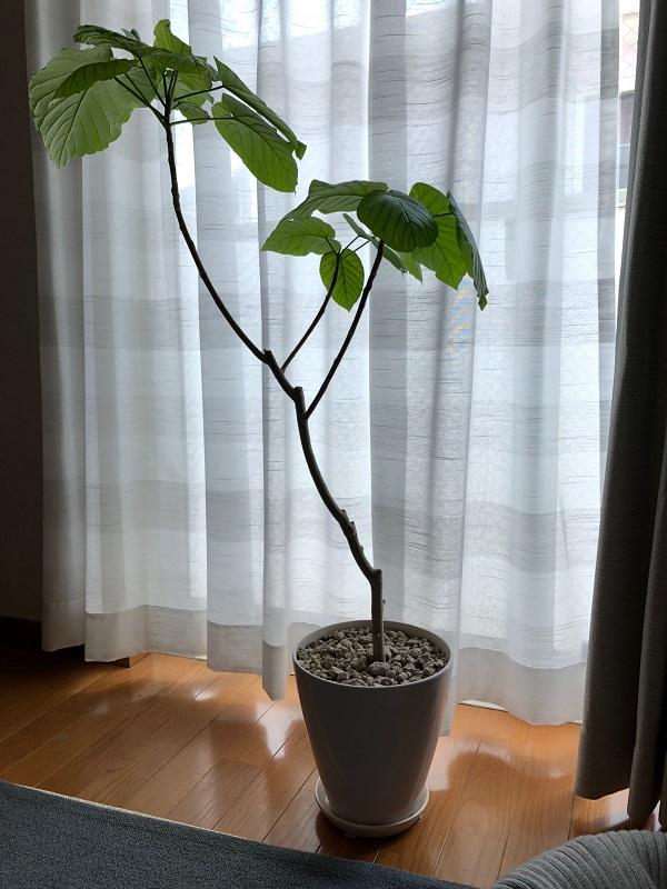 ficus_umbellata_pruning01