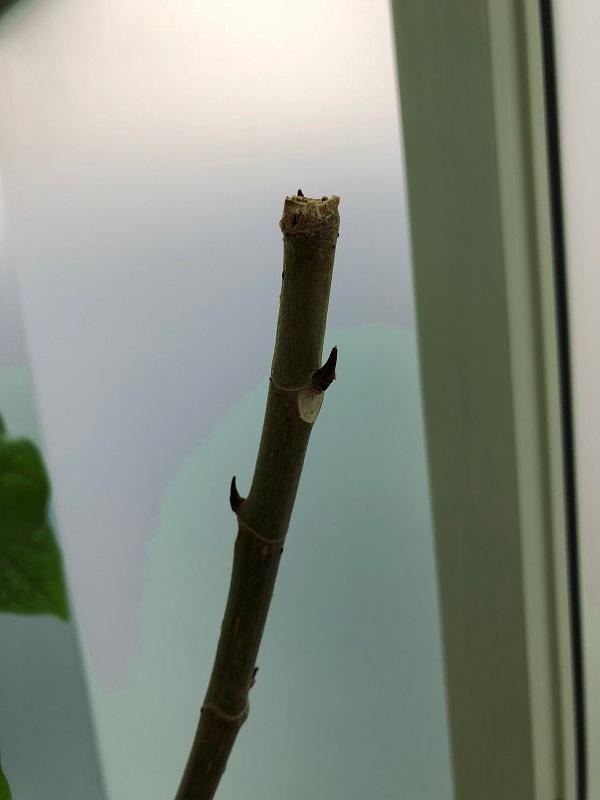 ficus_umbellata_pruning05