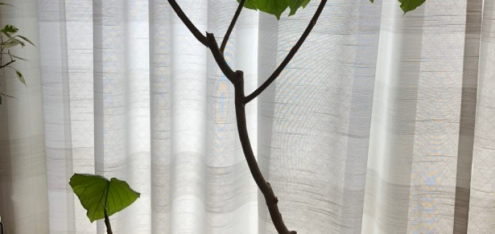 ficus_umbellata_pruning07